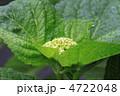 つぼみ イマキュラータ 花の写真 4722048