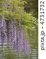 藤の花 ふじの花 春の花の写真 4731732
