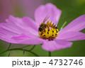 蜜蜂 ミツバチ 秋の花の写真 4732746