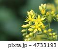 メキシコマンネングサ メキシコ万年草 花の写真 4733193
