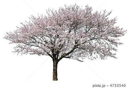 桜樹木切り抜き 4733540
