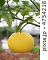 果物 夏みかん 夏蜜柑の写真 4734216