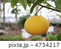 果物 柑橘 夏みかんの写真 4734217