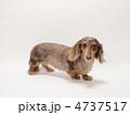 ダックスフンド ペット ミニチュアダックスの写真 4737517