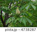 トチノキの花 4738287