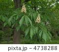 トチノキの花 4738288