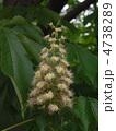 トチノキの花 4738289