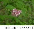 谷空木の花 4738395