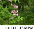 谷空木の花 4738398