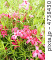 芝桜 花言葉:一筋 Phlox subulata 4738430