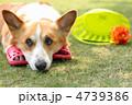 ウェルッシュコーギーペンブローク コーギー 動物の写真 4739386