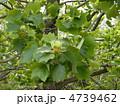 チューリップノキ ハンテンボク ユリノキの写真 4739462