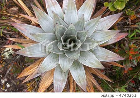 ロライマの植物 4740253