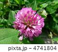 赤クローバー 紫詰草 ムラサキツメクサの写真 4741804