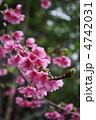 寒緋桜 ヒカンザクラ 緋寒桜の写真 4742031