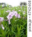 芝桜 花言葉:一筋 Phlox subulata 4742408
