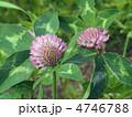 アカクローバー 紫詰草 ムラサキツメクサの写真 4746788