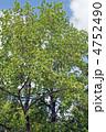 百合の木 ゆりのき 花の写真 4752490