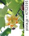 百合の木 ゆりのき 花の写真 4752595