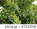 百合の木 ゆりのき 花の写真 4752649