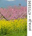 桃の花と菜の花 4755896