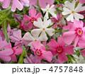 芝桜 花言葉:一筋 Phlox subulata 4757848