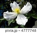 クレマティス クレマチス テッセンの写真 4777748