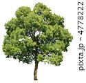 常緑樹 樹木 クスノキの写真 4778222