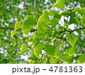銀杏の新緑 4781363