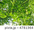 新緑の銀杏 4781364