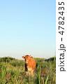 牛 4782435