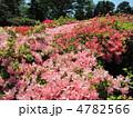神代植物園のつつじ(ヨコ) 4782566