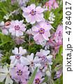 芝桜 花言葉:一筋 Phlox subulata 4784017