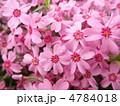 芝桜 花言葉:一筋 Phlox subulata 4784018