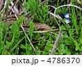 縞蛇 シマヘビ へびの写真 4786370