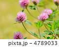 紫詰草 ムラサキツメクサ 赤ツメクサの写真 4789033