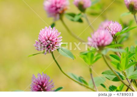隅田川沿いの川原のピンク色のムラサキツメクサの花 4789033