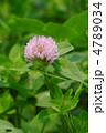 紫詰草 赤ツメクサ ムラサキツメクサの写真 4789034