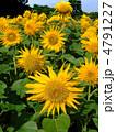 ひまわり 向日葵 花の写真 4791227