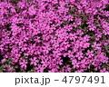 芝桜 4797491