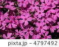 芝桜 4797492