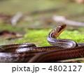 シマヘビ 蛇 ヘビの写真 4802127