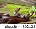 シマヘビ シマ 蛇の写真 4802128