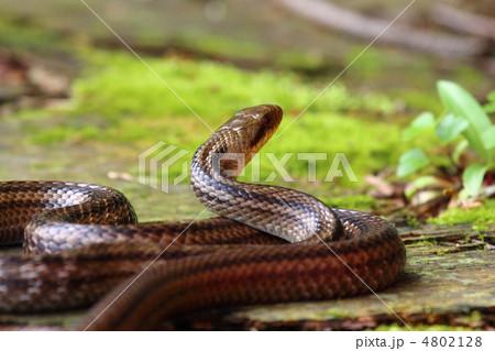 蛇 4802128