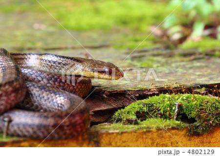 蛇 4802129