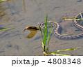 縞蛇 シマヘビ へびの写真 4808348