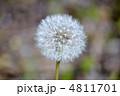 タンポポの穂綿 4811701