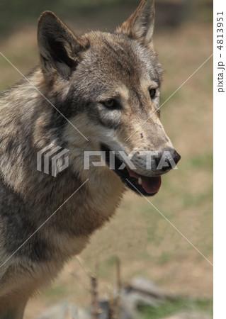 シンリンオオカミ 4813951