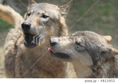 シンリンオオカミ 4813952