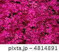 しばさくら シバサクラ 芝桜の写真 4814891